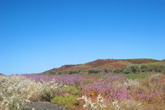 Wildflower meadows. Wildflowers brighten the Pilbara landscape of Western Australia Royalty Free Stock Images