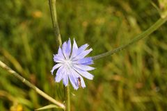 Wildflower medicinal do intybus do Cichorium Imagem de Stock