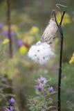 Wildflower - Milkweed Stock Foto