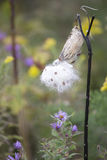 Wildflower - Milkweed Stock Photo