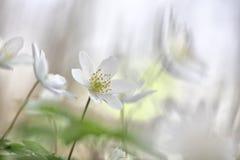 Wildflower minimalizm - białej wiosny dzicy kwiaty zdjęcia royalty free