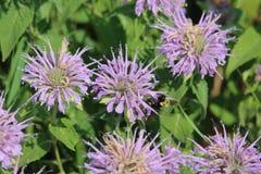 Wildflower Monarda Royalty Free Stock Photo