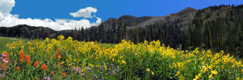 Wildflower and mountain panoramic. Flowers everywhere in albion basin at alta ski resort in summer Royalty Free Stock Images