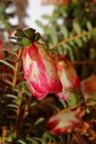 Wildflower nativo australiano imagen de archivo