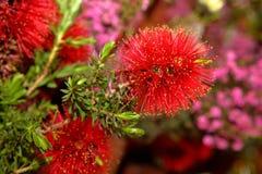 Wildflower nativo australiano - Banksia fotografía de archivo libre de regalías
