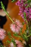 Wildflower nativo australiano - Banksia fotos de archivo libres de regalías
