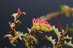 Wildflower nativo australiano - Grevillia imagenes de archivo