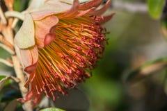 Wildflower nativo occidental Murchison macro Rose de Australia Foto de archivo