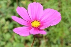 Wildflower nel rosa Immagini Stock