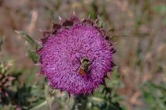 Wildflower occidental de la montaña de los E.E.U.U. Fotografía de archivo libre de regalías