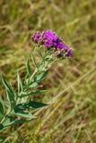 Wildflower ocidental de Kansas do ironweed Imagem de Stock