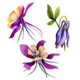 Wildflower orchid flower in a watercolor style isolated. Full name of the plant: purple orchid. Aquarelle wild flower for background, texture, wrapper pattern Royalty Free Stock Images