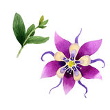 Wildflower orchid flower in a watercolor style isolated. Stock Photo