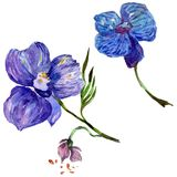 Wildflower orchid flower in a watercolor style isolated. Royalty Free Stock Photography