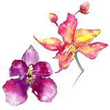 Wildflower orchid flower in a watercolor style isolated. Stock Images