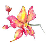 Wildflower orchid flower in a watercolor style isolated. Stock Image