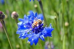 Wildflower púrpura con la abeja Imagen de archivo