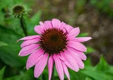 Wildflower púrpura de Coneflower Fotos de archivo
