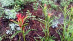 большой wildflower индийского paintbrush Стоковое Изображение RF