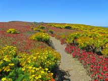 Wildflower path, Anacapa. Path through brilliant coreopsis, iceplant, Anacapa Island, Channel Islands National Park, California Royalty Free Stock Images