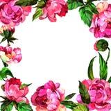 Wildflower peoni kwiat wewnątrz obramia akwarela styl Obraz Stock