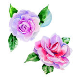 Wildflower peony, camelia flower in a watercolor style isolated. Stock Photo