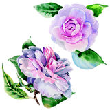 Wildflower peony, camelia flower in a watercolor style isolated. Stock Photos
