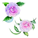 Wildflower peony, camelia flower in a watercolor style isolated. Royalty Free Stock Photo