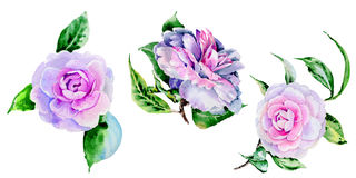 Wildflower peony, camelia flower in a watercolor style isolated. Royalty Free Stock Photos