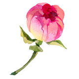 Wildflower peony flower in a vector style isolated. Stock Image