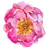 Wildflower peony flower in a vector style isolated. Stock Images