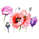 Wildflower poppies flower in a watercolor style isolated. Full name of the plant: poppies. Aquarelle wild flower for background, texture, wrapper pattern Stock Image