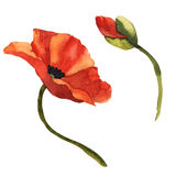 Wildflower poppy flower in a watercolor style isolated. Royalty Free Stock Photos