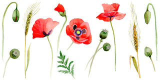 Wildflower poppy flower in a watercolor style isolated. Full name of the plant: poppy, papaver,  opium. Aquarelle wild flower for background, texture, wrapper Royalty Free Stock Photo