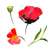 Wildflower poppy flower in a watercolor style isolated. Full name of the plant: poppy, papaver, opium. Aquarelle wild flower for background, texture, wrapper Stock Illustration