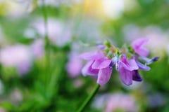 Wildflower porpora Fotografie Stock