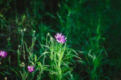 Wildflower pourpre à la lumière du soleil lumineuse sur un fond des herbes juteuses vertes d'été Tir ? la hauteur d'oeil Foyer de photo stock