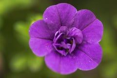Wildflower pourpre Photographie stock libre de droits