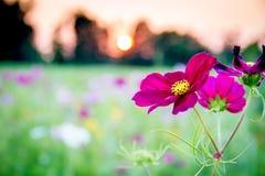Wildflower pourpre au coucher du soleil Images stock