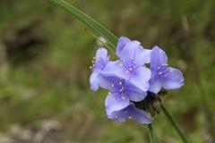 Wildflower pourpre de Spiderwort de l'Ohio Images libres de droits