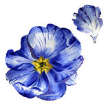 Wildflower primula flower in a watercolor style isolated. Royalty Free Stock Photography