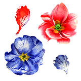 Wildflower primula flower in a watercolor style isolated. Stock Photo
