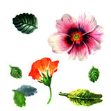 Wildflower primula flower in a watercolor style isolated. Stock Image