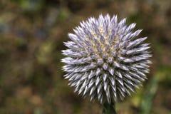 Round Wildflower