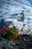 Wildflower que cresce ao lado da geleira Foto de Stock Royalty Free