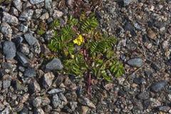 Wildflower resistente que crece en la grava, Terranova Imagen de archivo libre de regalías