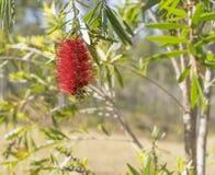Wildflower rojo del bottlebrush de Callistemon del australiano Fotografía de archivo