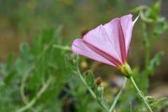Wildflower rosa 02 del convolvolo di campo immagini stock libere da diritti