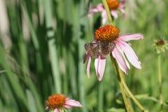 Wildflower rosa di Coneflower con la farfalla fotografia stock libera da diritti
