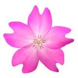 WildFlower rosa isolato su fondo bianco Fotografia Stock Libera da Diritti